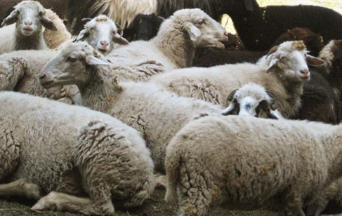 sheeps-woolen-weaves